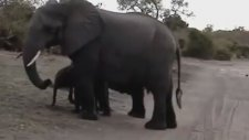 Hapşıran Bebek Fil