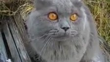 Bebek Sesi Çıkaran Kedi
