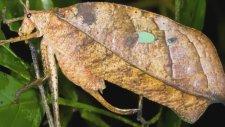Yaprak Şeklinde İlginç Böcekler