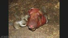 Domuz Kafasına saldıran Sincaplar
