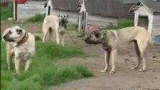 Kangal Köpekleri Belgeseli