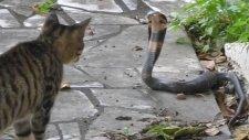 Kedi İle Kobra Yılanı