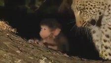 Öldürdüğü Maymunun Bir Yavrusu Olduğunu Farkeden Leopar Ne Yapar