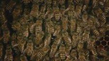 Bal Arıları Eşek Arısını Öldürüyor