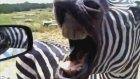 İnsan Gibi Bağıran Zebra