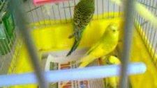 Tepeli Muhabbet Kuşları