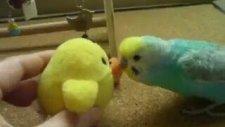Muhabbet Kuşu Dans Ediyor!
