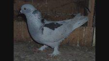 Oyun Kuşu Karakanat Şekeri