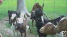Keçiler Türkçe Pop Söylerse