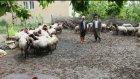 Mersin Mutta Köyleri Kurtlar Bastı
