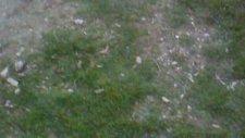 Kangal Yavruları