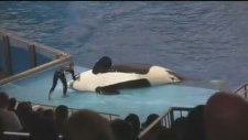 Orca Whale Knocks Over Trainer