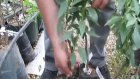 Klasik Yarı Bodur Sertifikalı Aşılı Badem Fidanı Üretiminde Kullanılan Anaçlar Nedir