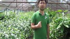 Bahçeme Hangi Armut Çeşidini Dikebilirim?