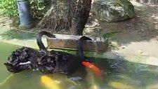 Balık Besleyen Kazlar