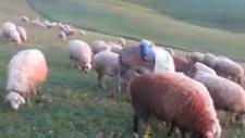 Koyunlar Sipsi İle Yaylalar Yayılım