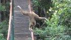 Cambaz Maymun