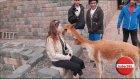 Turistin Yüzüne Tüküren Lama