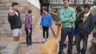 Hayvanat Bahçesindeki Lama Yapacağını Yaptı