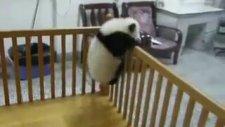 Yavru Panda Firar etmeye çalışıyor