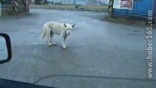 Yol Ortasında Dans Eden Köpek