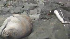 Penguen Fok Balığını Kayalık Sanınca Bakın Neler Oldu!