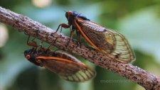 17 Yılda Bir Ortaya Çıkan Cırcır Böceği