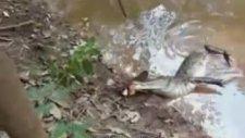 Elektrikli Yılan Balığı Timsahı Öldürdü