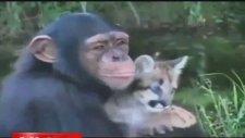 Puma Yavrusunu Biberonla Besleyen Şempanze