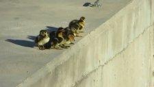 Cesur Ördekler