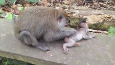 Yavrusunu Temizleyen Maymun