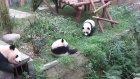 Arkadaşını Tokatlayan Panda