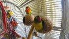 Sevimli Muhabbet Kuşu Dans Ediyor