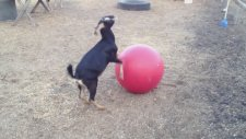 Hiperaktif Keçinin Plates Topu İle Oyunu