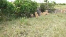 Erkek Aslanların Vahşi Dövüşü
