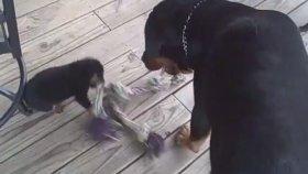 Annesine Kafa Tutan Yavru Rottweiler