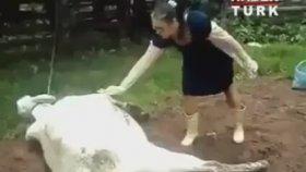 İnek veterinere adeta vole çakıyor
