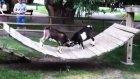 Keçilerin hakimlik savaşı