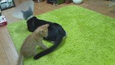 Kuyruk Takıntısı Olan Kedi