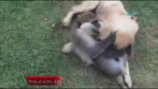 Maymun ile köpeğin kavgası