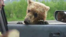 Çevreyolunda yemek için yalvaran ayılar