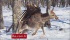 Rusya'da, kartal geyiği böyle avladı