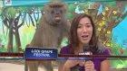 Çapkın maymun muhabiri fena terletti!!
