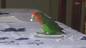 Kendine Kağıttan Kuyruk Yapan Papağan