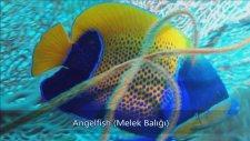 Deniz Akvaryumu İçin Tropikal Balıklar