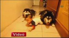 Bebeğe Emeklemeyi Öğreten Köpekler