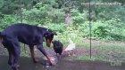 Doberman Mamasını Yiyen Tavuklara Engel Olamadı