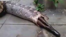 Piton Yılanı, Yediği Köpeği Tekrar Midesinden Çıkardı