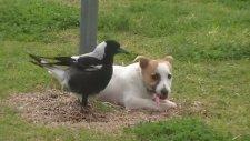 Karga İle Köpeğin Dostluğu