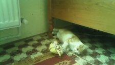 Kedinin Sünger Bop İle Oyunu